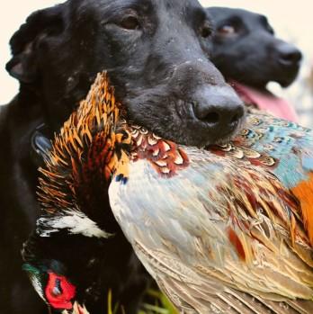 Pheasant Hunts